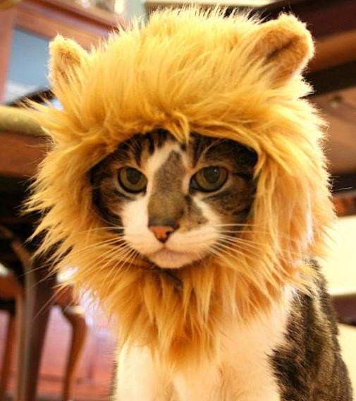 crinière lion pour chat