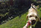 harnais gopro pour chiens